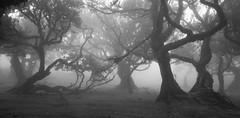 (RicardoPestana2012) Tags: fanal madeira madeiraisland fog trees forest eerie scary atmosphere dark moody
