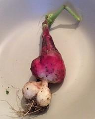 Coeur de radis (ZiKiarts) Tags: radis radish food vegetable vegetal potager zikiarts bazoft paris zardkuh zagros france