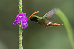 Rufous-crested Coquette Feeding On Purple Flowers (Hamilton Images) Tags: rufouscrestedcoquette lophornisdelattrei hummingbird bird feathers tropicalforest cerroazul canopytower panama centralamerica canon 7dmarkii 500mm february 2017 img9704