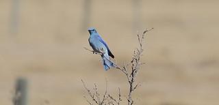 Mountain Bluebird  5160