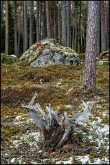 Stubbe och Sten (Jonas Thomén) Tags: stubbe sten stump treestump stone rock moss mossa forest skog series serie trunks stammar snow snö lingonris lingon spring vår
