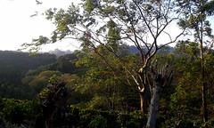 Campos verdes poco antes del atardecer/ Green fields, a little before dawn (vantcj1) Tags: paisaje cielo nubes colina montaña sembradíos cafetal árboles vegetación atardecer naturaleza tronco caminata