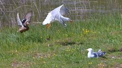 Mallard defends her chicks (enzowildi) Tags: mallard defends her chicks birds wildlife vogel songbird nature wild singvogel wasservogelswiss schweiz