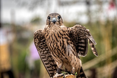 Are You Taking My Picture (Jims_photos) Tags: falcon texas outdoor outside adobelightroom adobephotoshop daytime jimallen jimsphotos jimsphotoswimberleytexas lightroom bird nopeople llano llanoearthartfest