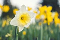 Happy Daffodil (Coral Norman) Tags: daffodil daffodils flower flowers fleur fleurs yellow white closeup upclose happy april spring springtime