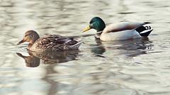 (4niki) Tags: 4niki patrik christian modée sony a7 soligor 250mm f45 spring pond hjulsta spånga stockholm vår damm duck anka