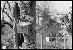 devotional tree (marcobertarelli) Tags: monochrome monochromatic pentax me super kodak trix400 tree pope detail dof cross abandoned photography composition