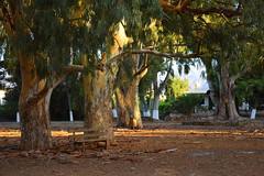 summer moods (JoannaRB2009) Tags: summer tree trees forest park eucalyptus nature afternoon goldenhour plant katodaratsos chania hania xania canea crete kriti kreta greece greek