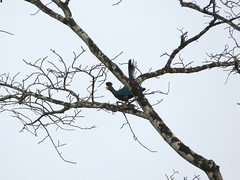 And antoher great Blue Turaco (benyeuda) Tags: bird birdwatching africa centralafricanrepubilc car forest rainforest tropicalrainforest africanrainforest congobasin corythaeolacristata turaco greatblue coolbird beautifulbird bigbird exoticbird colorfulbird
