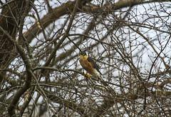 Cooper's Hawk? (Matt Champlin) Tags: tgif bird birding hawk hawks falcon birdsofprey winter feeder birdfeeder cny skaneateles canon 2017 home