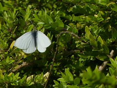 Small White (ukstormchaser (A.k.a The Bug Whisperer)) Tags: small white butterfly butterflies uk fly flies animal animals wildlife milton keynes hedgerow hedge basking bush bushes march