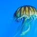Japanese sea nettle 2 - National Aquarium