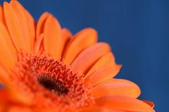 Orange 'n Blue II (christiane.grosskopf) Tags: orangeandblue gerbera flower blume blühte blossom komplementärfarbe complementarycolour macro