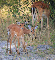 Baby impala (rachelsloman) Tags: impala wild animal botswana kwai baby