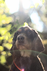 Serious (Vkarpi) Tags: dog flare lens dogs animal animals portrait bokeh cocker spaniel pet pets puppy