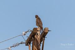 Red-tailed Hawk launch sequence - 1 of 15