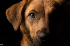 Bailey (MikeWeinhold) Tags: bailey dog dogportrait flash softbox 24105mm 6d
