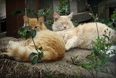 Two pretty cats on a palm tree stump (Bennilover) Tags: cats palm trees longhaired pretty ginger soft furry felines orangetabbies kittens gingercat tabbies moggies tabbycat