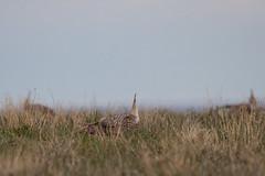 Sharptail Grouse-17 (buskirktim) Tags: sharptail grouse wildlife bird spring northwest nebraska