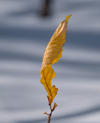 standing alone (janet.capling) Tags: leaf snow spring skiing shadows standing
