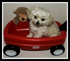 National Little Red Wagon Day (marilyntunaitis) Tags: nationallittleredwagonday dog pet bella monkey stuffedanimal