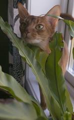 Pebbles in the Window 2 (peter_hasselbom) Tags: cat cats abyssinian sorrel red female window windowsill pottedplant pot plant fern leafs fujifilm