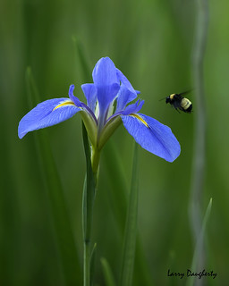 Wild Blue Iris and a little visitor!..........D800