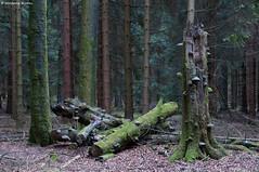 Gietzebeul I  - shattered (waellerwildlife) Tags: fichte fichten fichtenwald wald sonnenuntergang westerwald steinebachanderwied wällerwildlife flora gemeinefichte piceaabies gewöhnlichefichte rotfichte rottanne westerwälderseenplatte waellerwildlife rhinelandpalatinate germany nature norwayspruce píceacomún píceadenoruega píceaeuropea épicéa épicéacommun peccio abeterosso fijnspar gran rotbuche fagussylvatica laubbaum fagus buche almindeligbøg europeanbeech commonbeech hayacomún hêtrecommun euroopanpyökki faggio beuk faiaeuropeia bok baum bäume burens wolfgangburens hachenburg märz march frühling spring sunset gietzebeul
