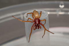 Dysdera crocata   Dysderidae (xilixir) Tags: dysderidae dysdera crocata male spider spiders spin sp arachnid araneomorphae araneae nikon nikkor nikonporn nikonusers natureupclose natureloversgallery macro macrodreams macrolife macroworld macros micro macroconverter 40mm 40mmf28 dx dichtbij d3300 dxcamera