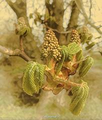 Chestnut buds (Tankartartid) Tags: spring sverige sweden green leaves chestnut buds flowers iphone7 instagram instagramapp iphoneography