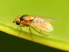 Yellow Swarming Fly