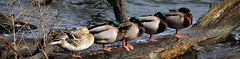 Everybody Duck! (xDigital-Dreamsx) Tags: duck mallard water waterway waterfowl waterbird nature wildlife lake loch river scotland countryside log tree sleeping rural springtime row fowl