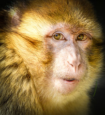 Barbary Ape (ronniegoyette) Tags: march2017 middleatlasmtnsmoroccovacation mildelttoazrou barbaryape monkey barbarymacque cedar forest