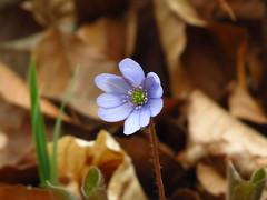 Leberblume (germancute) Tags: nature outdoor wildflower flower blume wald wiese plant leaf blossom blätter bloom