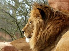 Berberlöwe***Barbary lion***Panthera leo leo (BrigitteE1) Tags: berberlöwe barbarylion pantheraleoleo löwe lion leo ew extinctinthewild erlebniszoohannover deutschland germany animal europe portrait zoo specanimal specanimalphotooftheday