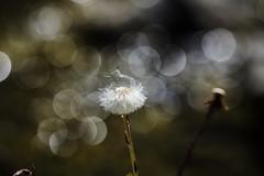 Promises... (Better at full screen) (J. Javier Nerín.( Busy. Training orcs.)) Tags: bokeh dandelion seed seeds macromondays hmm springtime spring ligth warm