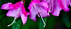 for 7 Days with Flickr, Wednesday:  Macro (Dee Gee fifteen) Tags: 7dwf macro rhododendron blossoms flower colorful