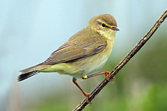 chiffchaff (Explore) (DODO 1959) Tags: wildlife wales nature avian birds migrant chiffchaff perch warbler skomerisland animal fauna pembrokeshire canon 100400mmmk2 1dmk4 outdoor
