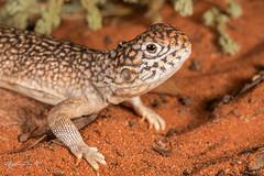 Central Netted Dragon (R. Francis) Tags: ryanfrancis ryanfrancisphotography southaustralia sa roxbydowns aridrecovery aridrecoveryreserve centralnetteddragon ctenophorusnuchalis