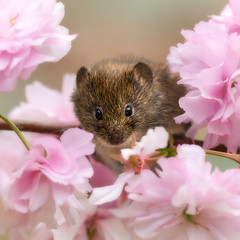For me? (hehaden) Tags: rodent bankvole myodesglareolus blossom cherry millerswood sussex square sel90m28g httpwwwjohnstantonphotographycouk