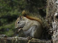 (Sarah-Vie) Tags: img6695 écureuil nature faune