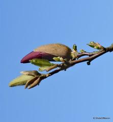 Magnolia flower bud need more sun to bloom # Magnolia bloemknop heeft meer zon nodig om te bloeien # Gardenshot today (ShotsOfMarion) Tags: shotsofmarion shots2remember flickr nikon magnolia bloem flower flowerbud bloemknop spring voorjaar garden gardenshot tuin magnoliaflowerbudneedmoresuntobloom bloemenfotografie flowerphotography magnoliaflowerbud magnoliabloemknop needmoresun closeup macrofotografie macro macrophotography