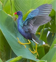 The Wetlads Acrobat ( Purple Gallinule ) (billkominsky ) Tags: naturethroughthelens