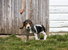 IMG_8229 (BFDfoster_dad) Tags: basset hound puppy