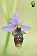 OPHRYS SCOPOLPAX 04 (JuanMa-Zafra) Tags: ophrys scolopax orquídeas macro d700 105mm nikon flash difusor reflector tubos extensión zafra extremadura campo