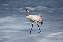 Common crane walking on the ice of a frozen water in early spring (Digikuvaaja) Tags: commoncrane bird spring wild nature wildlife grey animal crane common beauty outdoors field grus landscape habitat water scene natural large beautiful environment gray fantastic foraging europe awesome great wonderful grusgrus male winter wing wetland scenic wilderness rural countryside meadow grassland migratory marsh ornithology migratorybirds birdsinthewild waterfowl finland walking