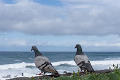 Horft út á hafið (Harpa Hrund) Tags: ocean pigeons dúfur view
