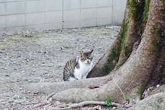 Today's Cat@2017-04-06 (masatsu) Tags: cat thebiggestgroupwithonlycats catspotting pentax mx1