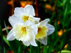 Daffodils; shall I ,shan't I, shall I, shan't I ---post this shot! (judydeanclasen) Tags: spring macro eifel bokeh daffodils