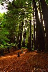 Otways National Park Redwoods (mattpietkiewicz) Tags: otways forest rainforest californian redwoods tall trees giants nature hiking bushwalk australia melbourne victoria discover explore travel national park parks waterfall waterfalls adventure